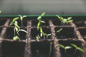 germinación de semillas para huerto urbano