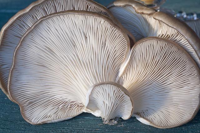 setas ostras para comer cultivas con el Kit autocultivo