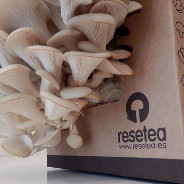 Oyster Mushroom home growing kit - Resetea